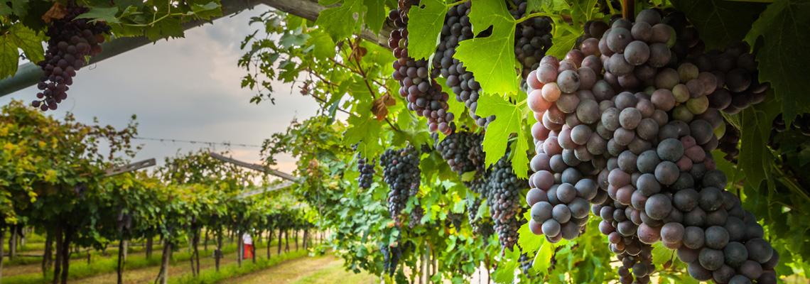 tuscany-grapevines